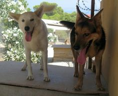 Ellie has sent us a picture of rescue dogs Karenza and Falk who she gave a home to. Beautiful dogs!