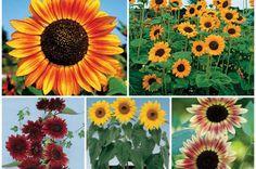 21 Best Art Sunflowers Images Art Sunflower Art Painting