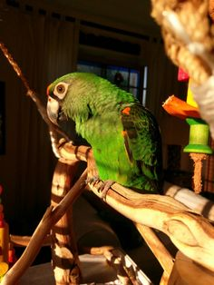 Jardine's parrot Keiki enjoying her sunshine. Just sunshine and pistachios are all she wants.