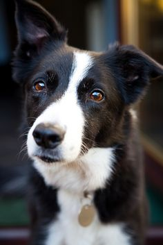 Border Collie - starting to show a little grey around the eyes but I bet he isn't slowing down yet!