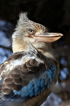 ~~Blue-winged kookaburra by Mark E~~