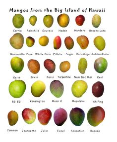 Did you know that mangoes are the most consumed fruit in the world? Worldwide three mangoes are eaten for every banana, and ten for every apple.   There are over 2,000 varieties of mangoes, and they range in size from 2 ounces up to about 4 pounds. Taste, texture, and colors vary.