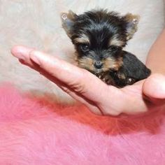Micro Teacup Yorkie Puppy For Sale Cyara S Board