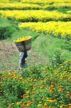Marigold Harvest, Tamil Nadu, India