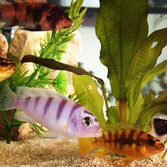 Find information about keeping the Kenyi Cichlid or Metriaclima lombardoi in a home aquarium, including advice for feeding and breeding your Kenyi Cichlid. Big Aquarium, Home Aquarium, Tropical Aquarium, Tropical Fish, Plecostomus, Cool Fish, African Cichlids, Angel Fish, Fish Tanks