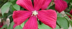 Clematis  by Todd_Boland