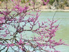 Redbud trees at Ha Ha Tonka Spring, Lake of the Ozarks Missouri