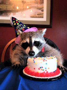 A Happy raccoons birthday! Happy Birthday Animals, Animal Birthday, Funny Birthday, Cute Baby Animals, Animals And Pets, Funny Animals, Strange Animals, Gato Animal, Pet Raccoon