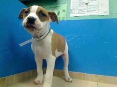 CHICO is an adoptable Pit Bull Terrier Dog in Brooklyn, NY.  ...