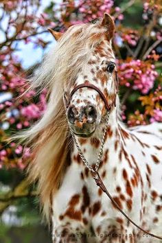 I love these type of horses. they are called appaloosa horses, which the American were very fond of back in the day. All The Pretty Horses, Beautiful Horses, Animals Beautiful, Beautiful Unicorn, Pretty Animals, Beautiful Beautiful, Absolutely Gorgeous, Caballos Appaloosa, Appaloosa Horses