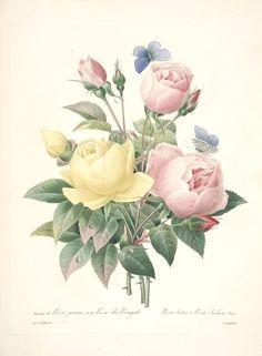 gravures de fleurs par Redoute - Gravures de fleurs par Redoute 165 rose jaune…
