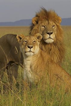 "Wild Earth: Hail to the ""KING""! Beautiful Male lion with his Lioness. Beautiful Creatures, Animals Beautiful, Grand Chat, Animals And Pets, Cute Animals, Wild Animals, Baby Animals, Lion Couple, Gato Grande"