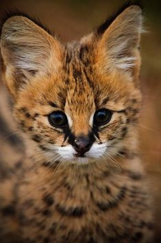 The African serval is slowly expanding into new areas across its historical range but is still being killed for its skin in West Africa. Learn how AWF protects the serval cat from becoming endangered. Cute Baby Animals, Animals And Pets, Funny Animals, Baby Wild Animals, Animals Images, Cute Kittens, Cats And Kittens, Big Cats, Beautiful Cats