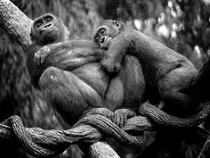 This photo of two lowland gorillas was taken at the Bronx Zoo in New York City. This is part of a series of photos I call Bronx Zoo Diaries.
