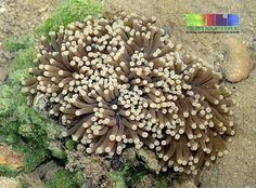 Torch anchor coral   (Euphyllia glabrescens)