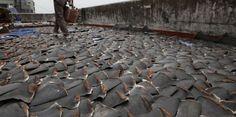 À Hong Kong, des milliers d'ailerons de requins mis à sécher sur un toit