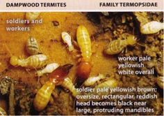 Termites - All About Termites - Facts, Life Cycle, Reproduction, History & More