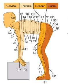 Learn all about cervical, thoracic, lumbar, and sacral anatomy!You can find Anatomy and more on our we. Muscle Anatomy, Body Anatomy, Spinal Nerve, Spinal Cord, Nursing School Notes, Nursing Schools, Spine Health, Women's Health, Medical Anatomy