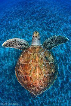 Turtle gem - Jordi Chias - Wildlife Photographer of the Year 2012 : Underwater Worlds - Commended