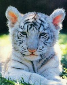 Weißer Tiger II Leinwandbild Reproduktion Aquarell