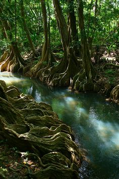 River roots, beautiful Indian River, Dominica