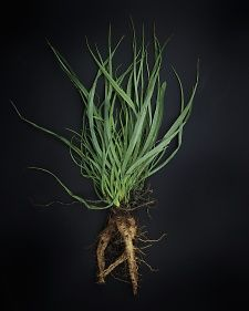 Salsify or Oyster Plant: Historical variety of vegetable from the restored kitchen garden of Monticello, the Virginian plantation of Thomas Jefferson.