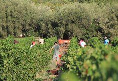 Pyrgos Vasilissis Vineyard, Attica, Harvest