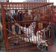 In China, Tigers Are Starved To Death To Make Wine From Their Bones. - LIBRARY OF MOST CONTROVERSIAL FILES