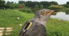 With a Cuckoo's Journey From China, a Mystery Is Solved, and Cheers Go Up - The New York Times