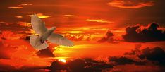 Free Image on Pixabay - Dove, Bird, Flying, Orange, Sunset Copyright Free Images, Dove Bird, Photo Search, High Quality Images, Free Pictures, Nature Photography, Birds, Sunset, Black And White