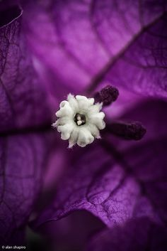 Purple Bougainvillea Flower by Alan Shapiro