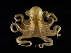 Common octopus (Octopus vulgaris) is from Cornell's extensive collection of glass marine models fashioned by Leopold and Rudolf Blaschka.