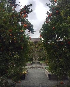 The wine was great, the atmosphere cozy, but my favorite part of all? These citrus trees. 🍊🌳 @frogsleapwinery in Napa Valley