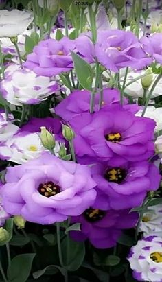 Browse my pictures of purple flowers to aid you in plant selection. Like blue blossoms, this bloom color has a soothing effect.  #PurpleFlowers #Garden