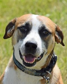 Happy Harold - Boxer mix - approx 3-4 yrs old   - Male - Paws and Prayers - Akron, OH. - http://www.pawsandprayers.org/ - https://www.facebook.com/PawsandPrayers/ -  - http://www.pawsandprayers.org/ViewPets/AdoptableDogs/tabid/83/Default.aspx - http://www.pawsandprayers.org/ViewPets/AdoptableDogs/tabid/83/Default.aspx