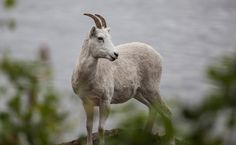 A Mountain Goat Died Because Tourists Are Still Being Jerks - When idiocy of humans will end?!!