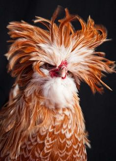Somebody woke up on the wrong side of the chicken coop. And bed hair on top of that!