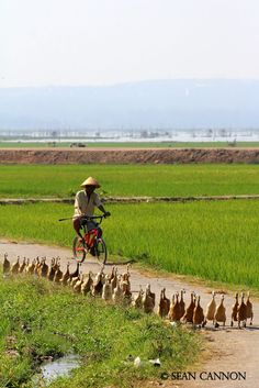 Duck Herder - Indonesia