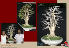 bonsai trees tedy boy bandung indonesia pameran bonsai kontes bonsai nasional bonsai plants tree plant ppbi pamnas bonsai america europe russia bonsai