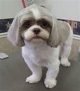 Shih Tzu - Cut & Style Possibilities with shorter ears though Perro Shih Tzu, Shih Tzu Puppy, Shih Tzus, Shih Tzu Hair Styles, Dog Haircuts, Dog Hairstyles, Short Haircuts, Shih Poo, Dog Grooming