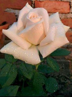 ♡« Rózsa ®»♡