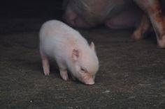 とんとん広場・ミニブタの子豚 http://wp.me/p4BDoU-ix