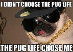 Funny pictures about A Thug Pug. Oh, and cool pics about A Thug Pug. Also, A Thug Pug photos. Pug Meme, Funny Dog Memes, Funny Animal Memes, Funny Animal Pictures, Dog Pictures, Funny Dogs, Funny Animals, Cute Animals, Animal Pics