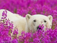 Playful Photos of Polar Bears Playing in Flower Fields