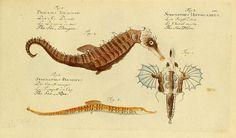ichthyologie; ou, Histoire naturelle des poissons :.  Berlin,Chez l'auteur,1796..  biodiversitylibrary.org/page/4786787