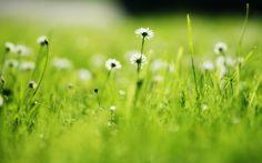 #1414552, Pictures for Desktop: daisy wallpaper