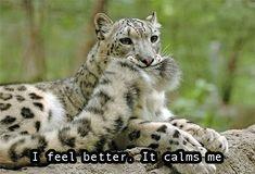 Snow leopard biting tail
