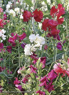 How to Grow Sweet Peas: How to plant and grow fragrant sweet peas. Cream Flowers, Orange Flowers, Cut Flowers, Growing Flowers, Planting Flowers, Growing Sweet Peas, Sweet Pea Seeds, Starting Seeds Indoors, Cut Flower Garden