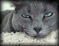 Russian Blue. Great color combo