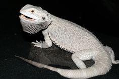 Snow Bearded Dragon (minus the attitude)